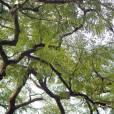 Enterolobium cyclocarpum – Elephant Ear Tree