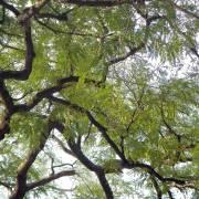 Enterolobium cyclocarpum – Árbol de Guanacaste