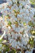 Erica arborea – Baumheide
