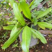 Eryngium foetidum – Mexican Coriander, Culantro