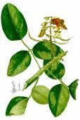 Erythrina fusca – Bucayo, Elequeme Tree