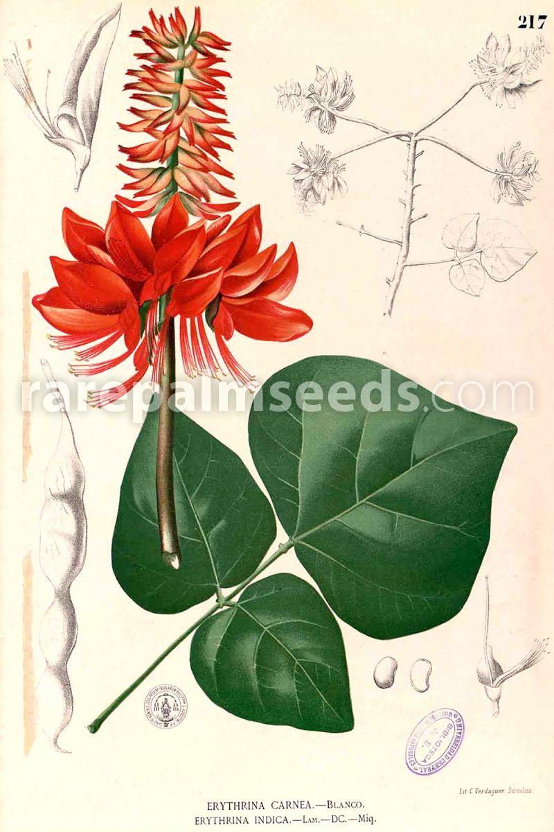 Heirloom Erythrina Smithiana 5 Rare Tropical Plant Tree Seeds Coral Bean Tree