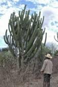 Escontria chiotilla – Chiotilla Cactus