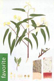 Eucalyptus camaldulensis – River Red Gum