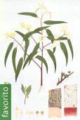 Eucalyptus camaldulensis – Eucalipto rojo