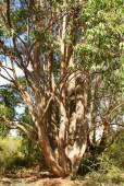 Eucalyptus cloeziana