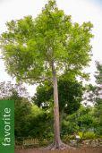 Eucalyptus deglupta – Rainbow Gum