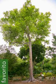 Eucalyptus deglupta – Eucalipto arco iris