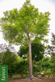 Eucalyptus deglupta – Eucalyptus arc-en-ciel