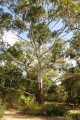 Eucalyptus grandis – Flooded Gum, Rose Gum