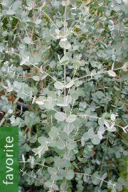 Eucalyptus gunnii subsp. gunnii – Cider Gum