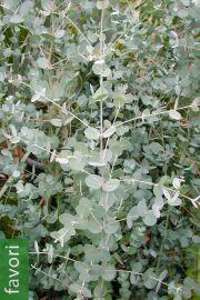 Eucalyptus gunnii subsp. gunnii