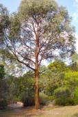 Eucalyptus radiata – Menta de hojas angostas