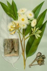 Eucalyptus robusta – Swamp Mahagony