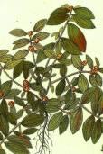 Euphorbia hirta – Asthma Plant, Pillpod Spurge
