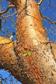 Euphorbia tanquahuete – Mexican Rubber Tree