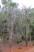 Euphorbia tirucalli – Pencil Tree