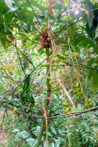 Eurycoma longifolia – Malaysian Ginseng, Tongkat Ali