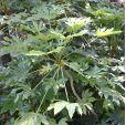 Fatsia japonica – Aralia japonés