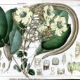 Fernandoa adenophylla – Katsagon Tree