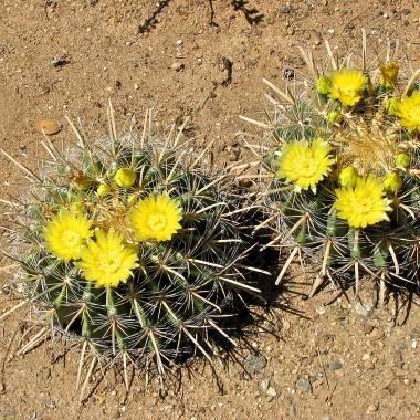 Ferocactus wislizeni 'Yellow'