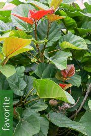 Ficus auriculata – Roxburgh Fig