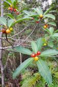 Ficus austrocaledonica