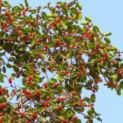 Ficus benghalensis – Banyan Tree