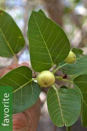 Ficus brandegeei – Desert Fig