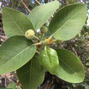 Ficus palmeri – Rock Fig