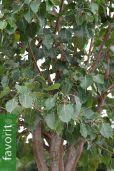Ficus religiosa – Bodhibaum