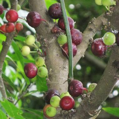 Ficus sp. 'Ambae Sweet & Tasty'