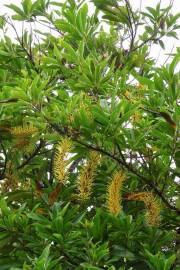 Finschia chloroxantha