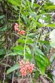 Flagellaria indica – Whip Vine, False Rattan
