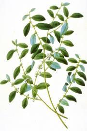 Flueggea virosa – White Berry Bush