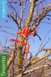 Fouquieria formosa – Cascabelillo, palo santo