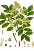 Fraxinus ornus – Manna Ash