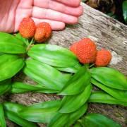Freycinetia sp. 'Litchi-like'