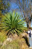 Furcraea longaeva – Pescadillo, Palme tehuizote