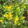 Gaiadendron punctatum