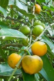 Garcinia xanthochymus – Gambobe, False or Yellow Mangosteen