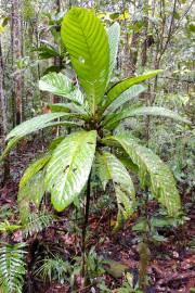 Gardenia conferta