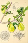 Gardenia cornuta – Horned Gardenia