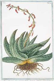 Gasteria ssp. 'Mix'