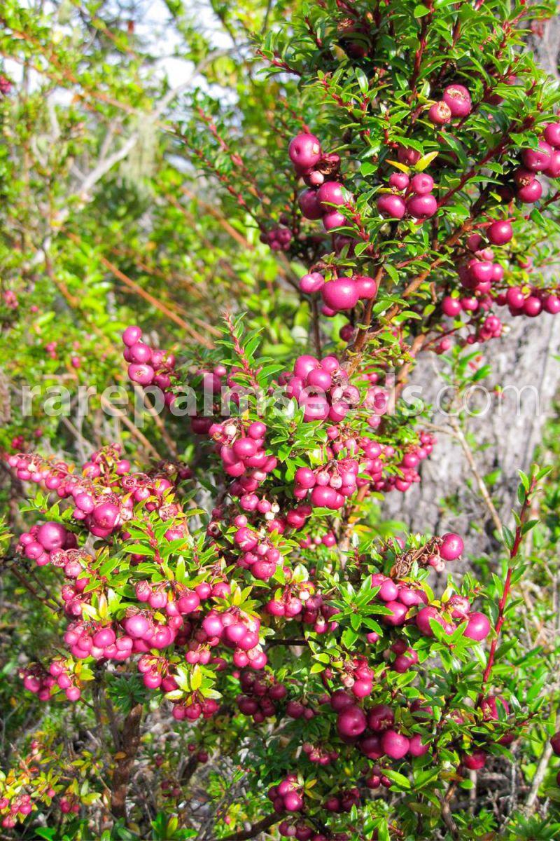 Gaultheria Pernettya.Gaultheria Mucronata Buy Seeds At Rarepalmseeds Com