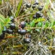 Gaultheria myrsinoides
