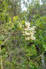 Gaultheria ramosissima