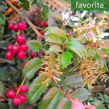 Gevuina avellana – Chilean Hazel