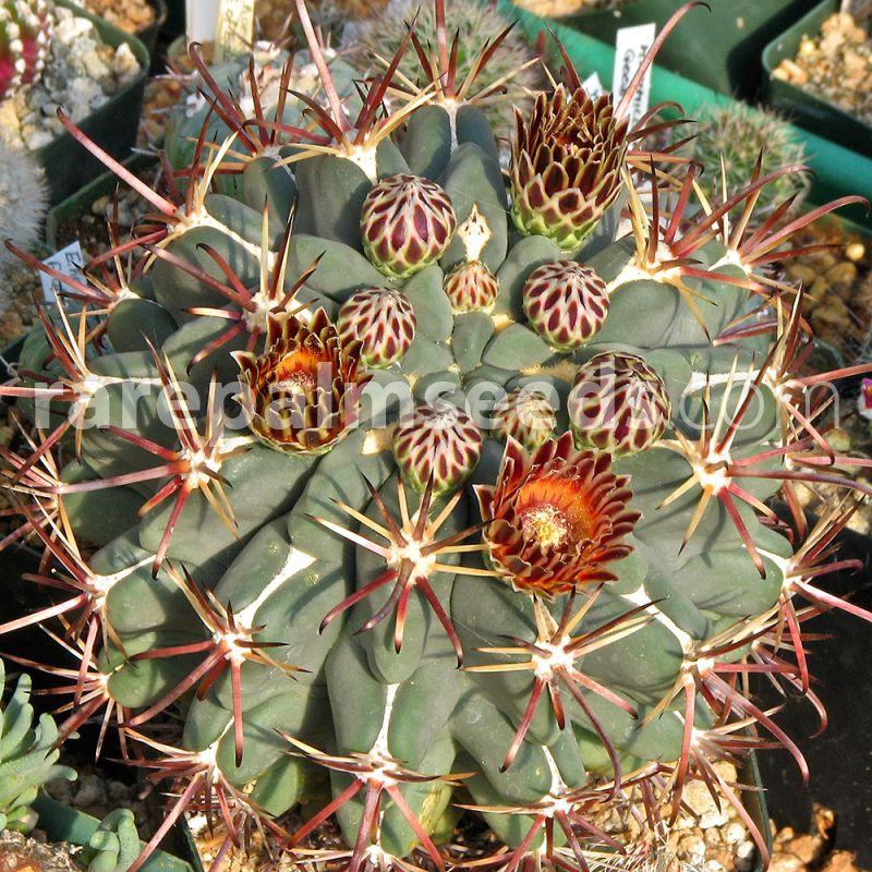Glandulicactus Crassihamatus Fish-hook Cactus Cacti 10 Seeds