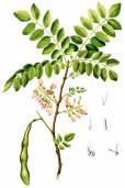 Gliricidia sepium – Quickstick